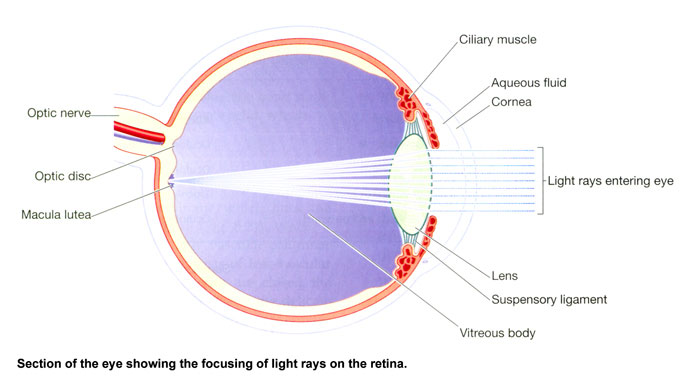 The Structure of The Eye, Eye Anatomy | SelectSpecs AU