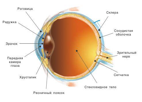 Структура глаза (Интернет-магазин OptiX.su)
